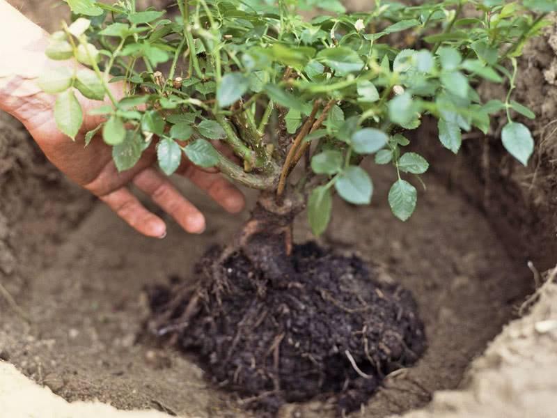 Суданская роза, каркаде (гибискус): описание, выращивание, польза