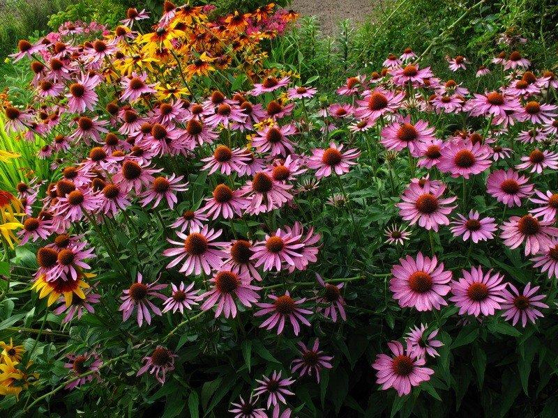 Эхинацея пурпурная: фото сортов с названиями, особенности выращивания и ухода за растением