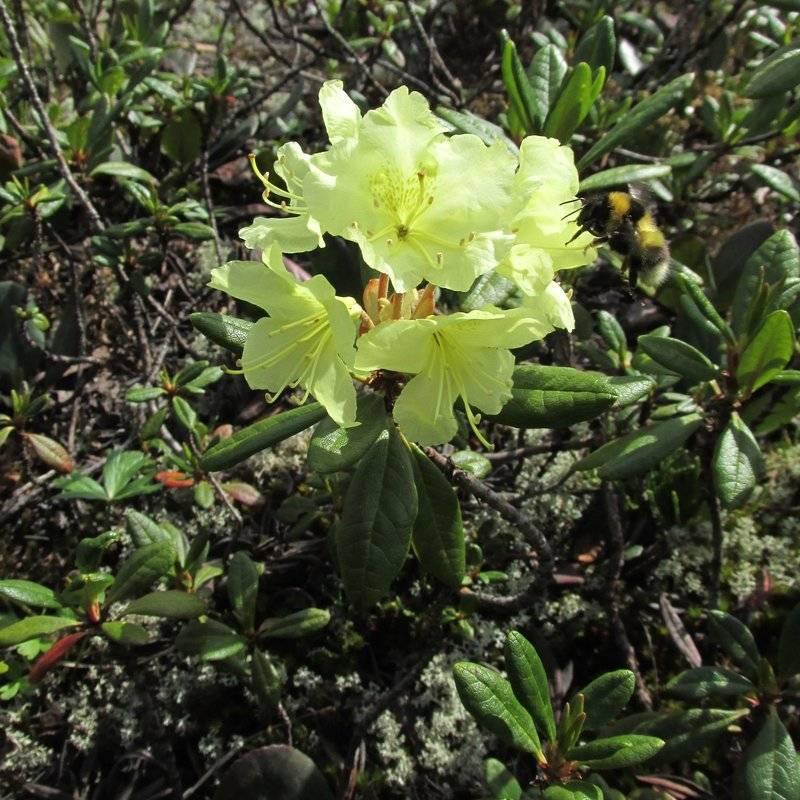 Свойства рододендрона даурского и его выращивание