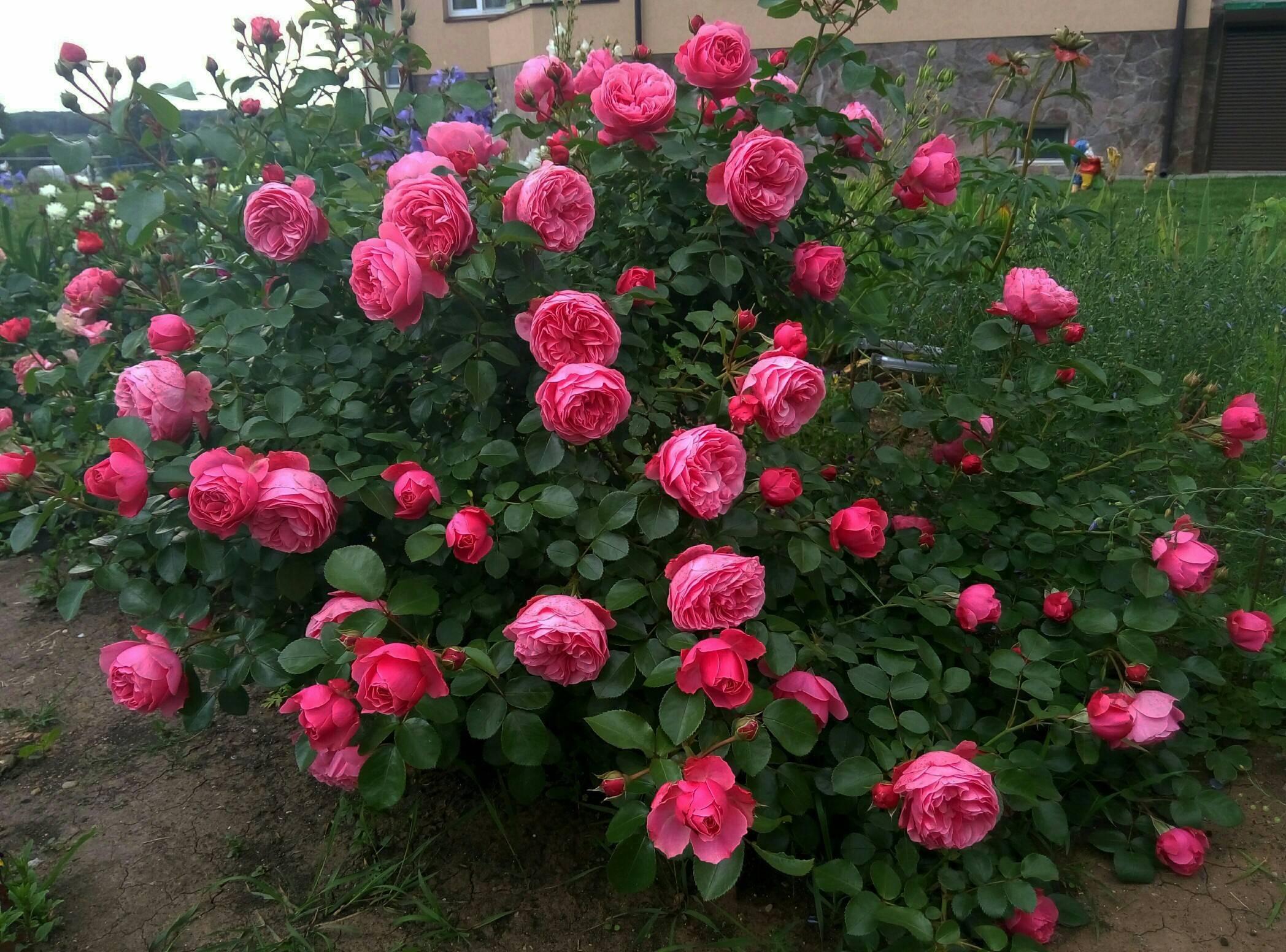 Английская полиантовая роза флорибунда leonardo da vinci (леонардо да винчи)