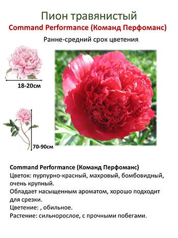 Пионы «комманд перформанс» (14 фото): описание сорта, особенности выращивания