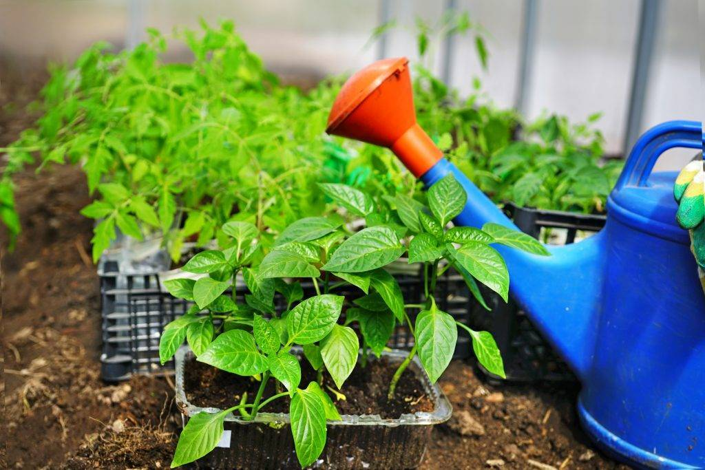 Уход и выращивание молочая миля дома: как посадить, поливать, удобрять, рассадить
