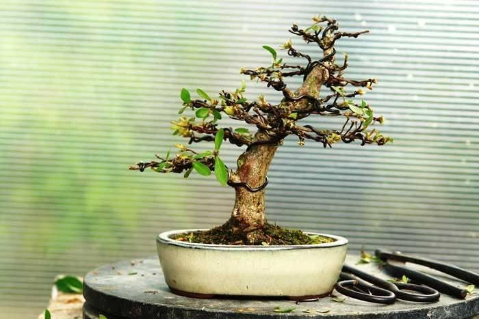 Выращивание бонсай изсемян клена, дуба или сосны