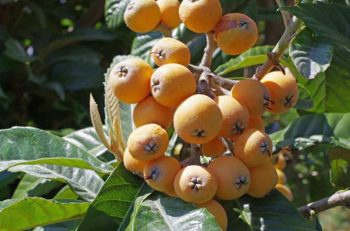 Когда созревает дерево мушмула: как начинает плодоносить в домашних условиях