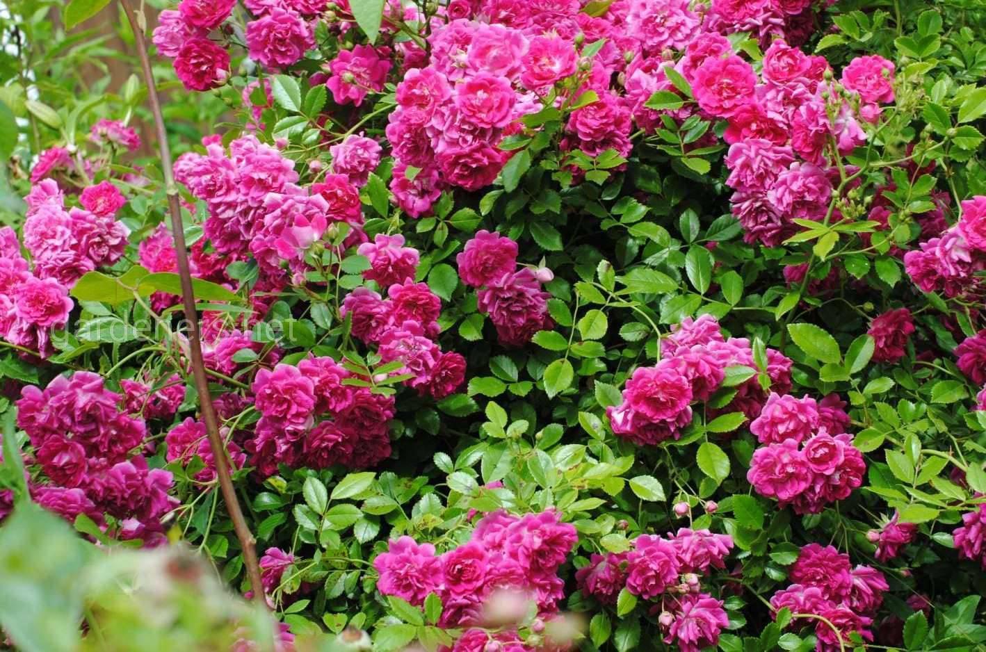 Роза супер дороти (super dorothy) — что это за повторноцветущий сорт