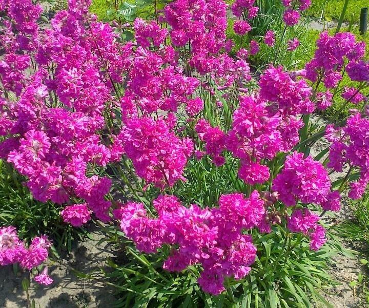 Цветы лихнис, посадка и уход