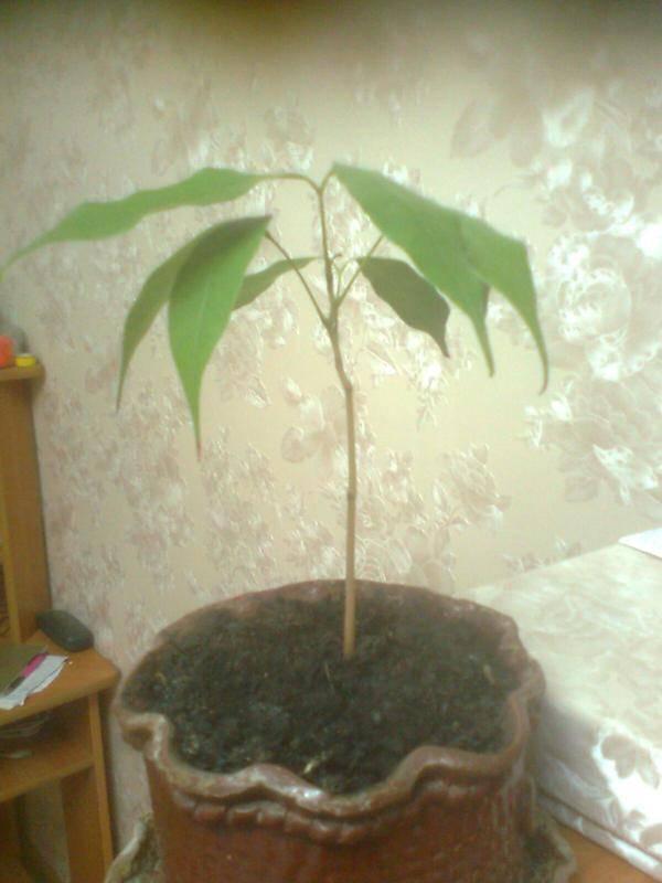 Личи фрукт как вырастить из косточки в домашних условиях - посадка и уход