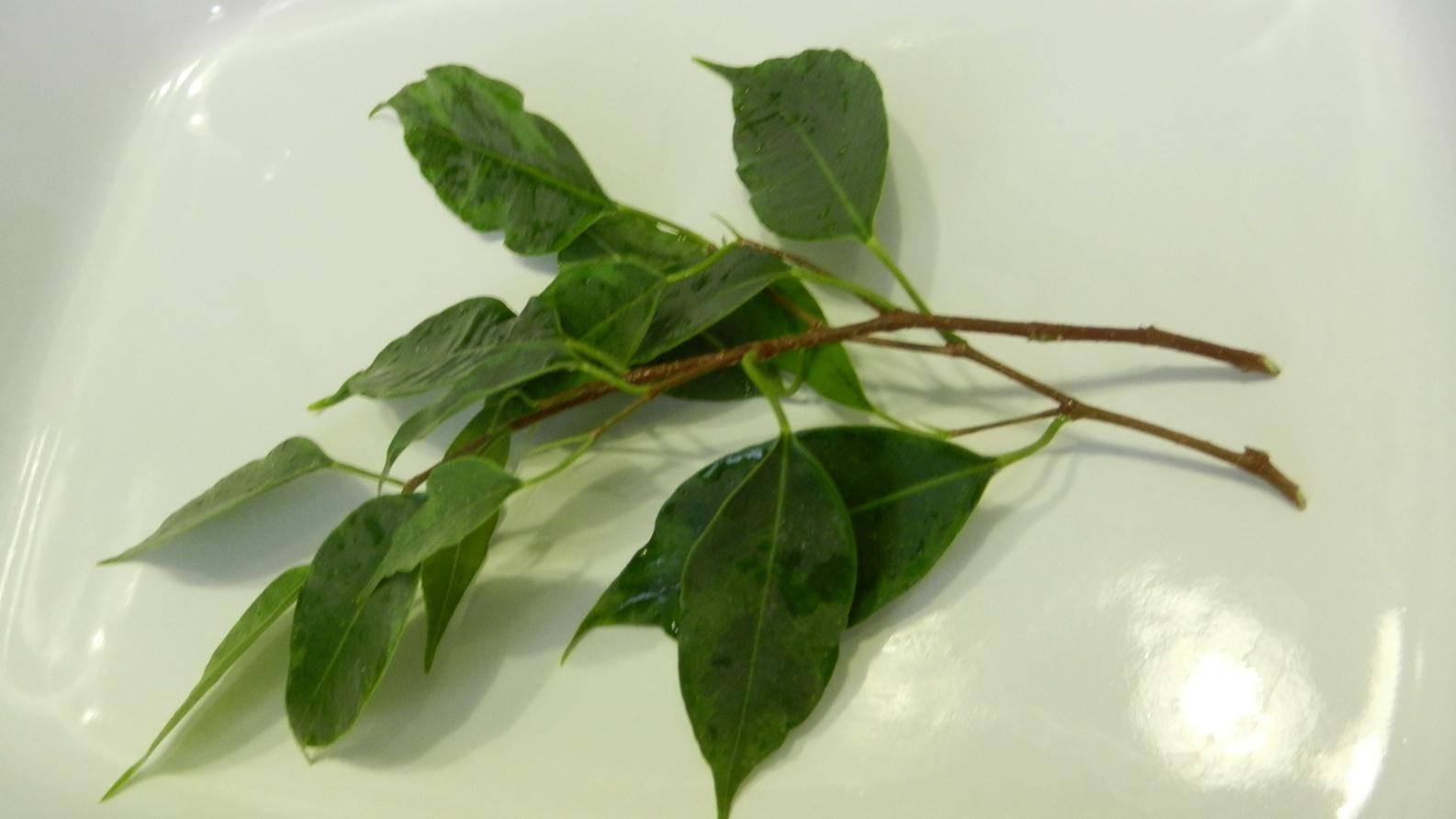 Фикус: размножение в домашних условиях из листа, отростками и черенкованием