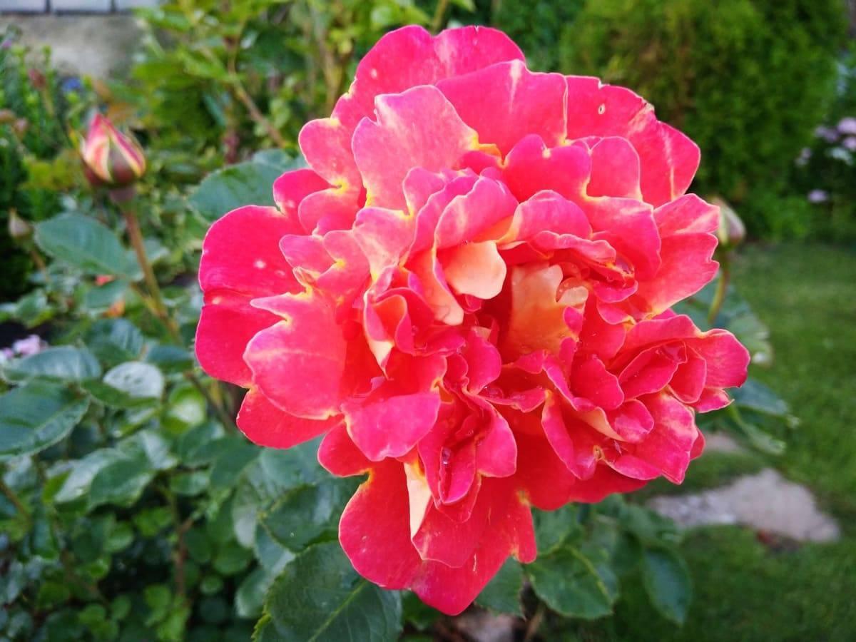 О розе арлекин (arlequin ): описание и характеристики сорта плетистой розы