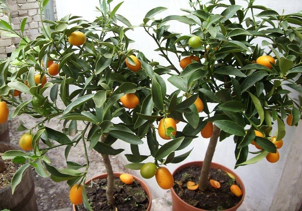 Апельсиновое дерево, уход в домашних условиях, фото