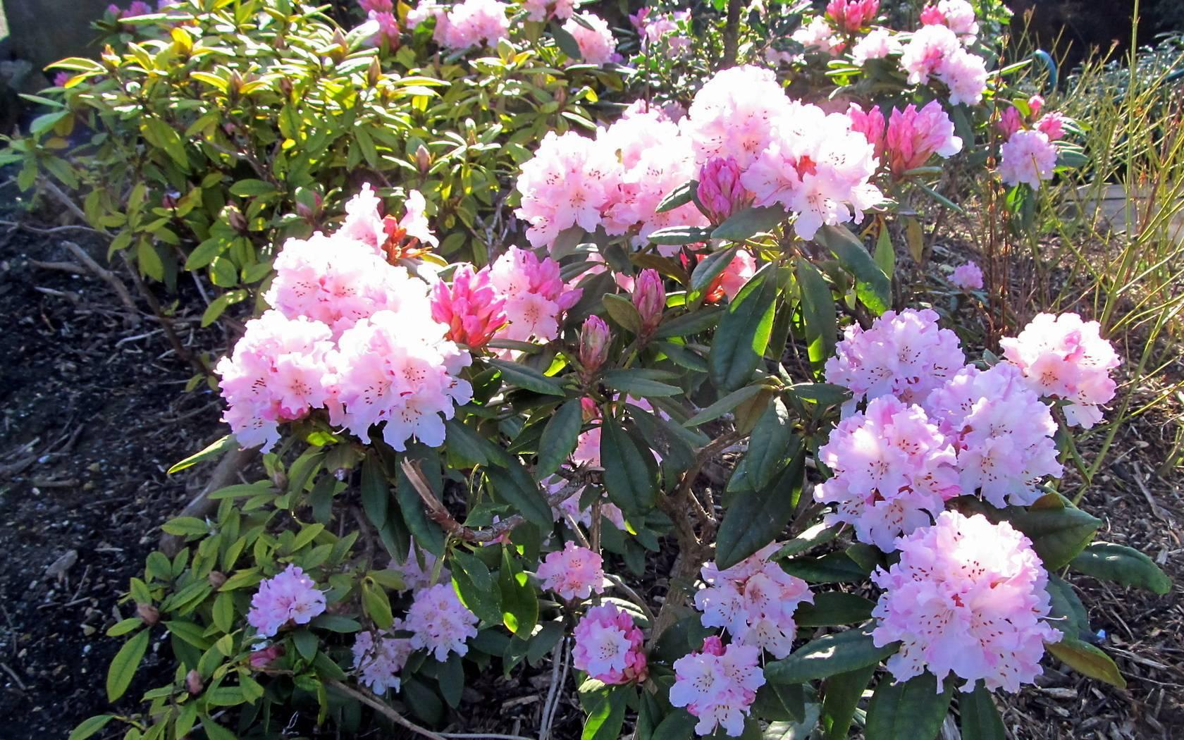 Цветы рододендроны. выращивание.