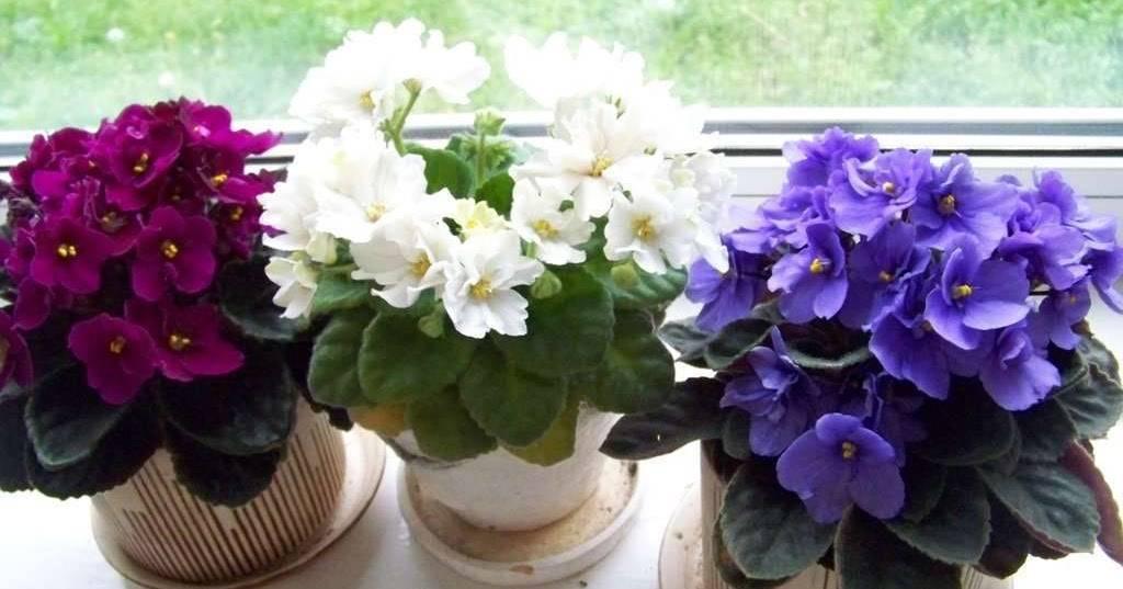 Фиалка: уход в домашних условиях – освещение, температура, полив. размножение сенполий. виды с описанием и фото