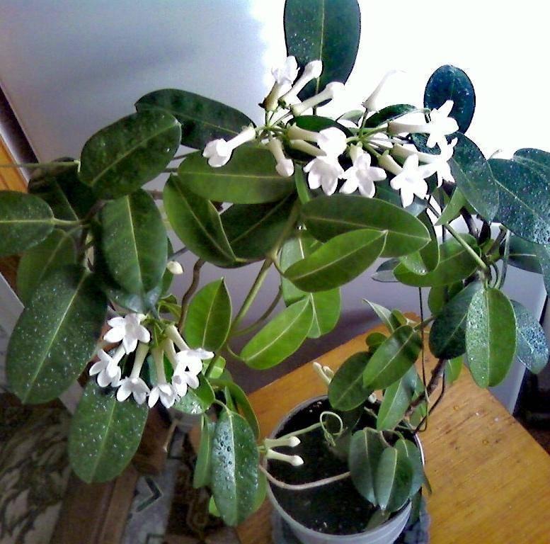 Стефанотис - уход в домашних условиях. комнатные цветы