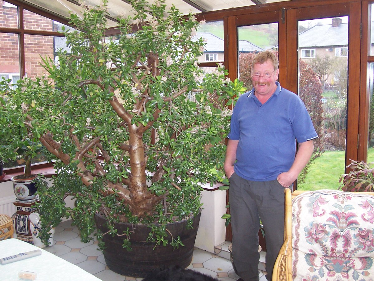 Денежное дерево (толстянка): цветет или нет, как часто и как заставить цвести