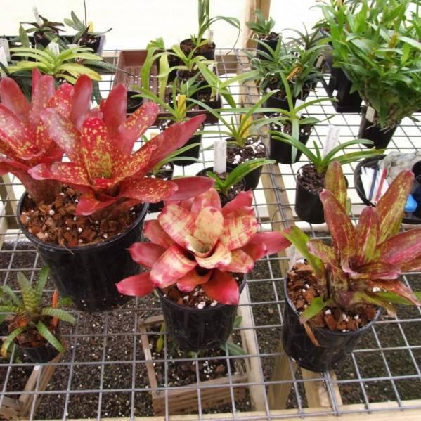 Вриезия: все нюансы ухода за цветком в домашних условиях