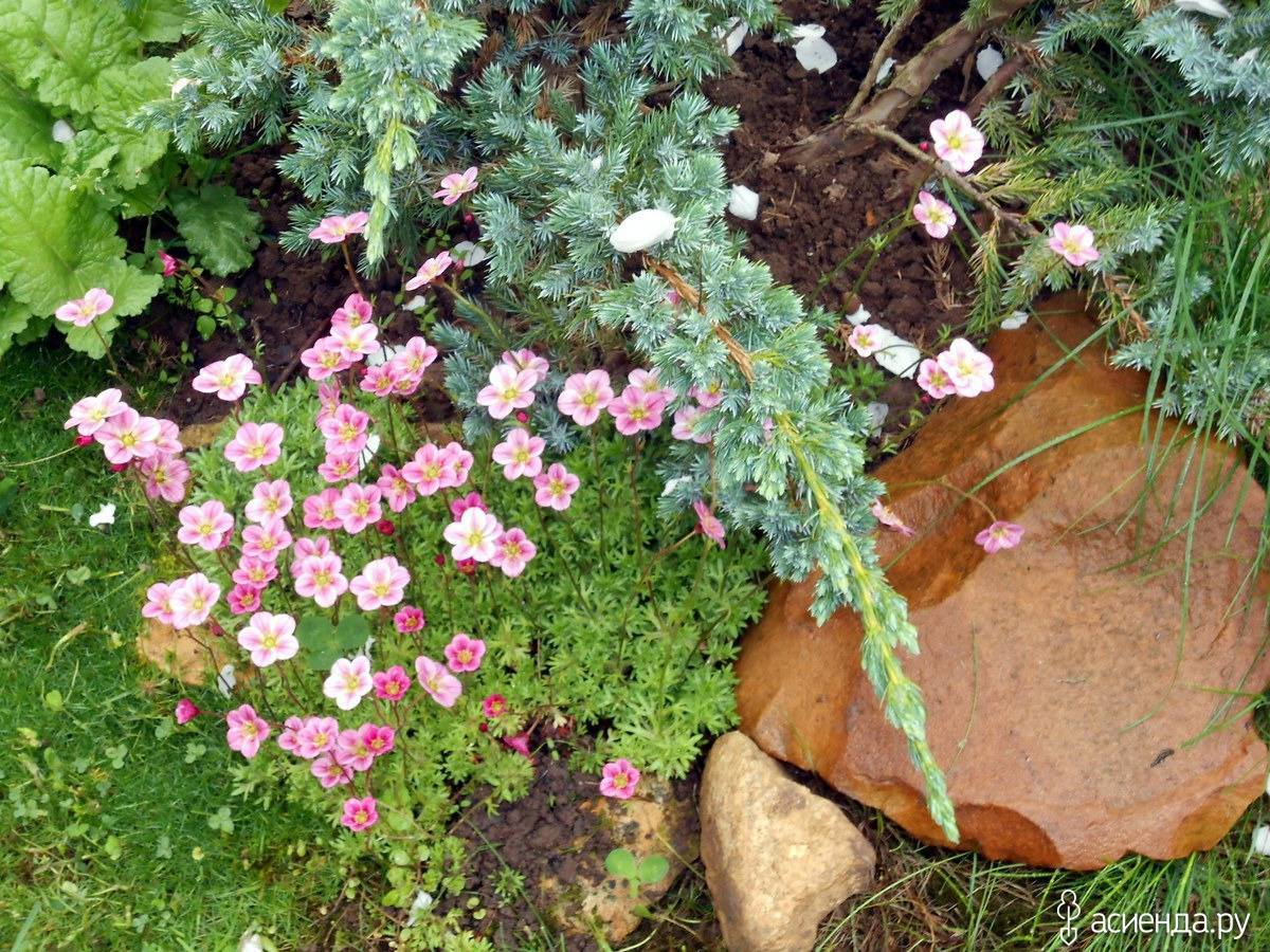 Распространенные виды цветка камнеломка: особенности выращивания и уход дома
