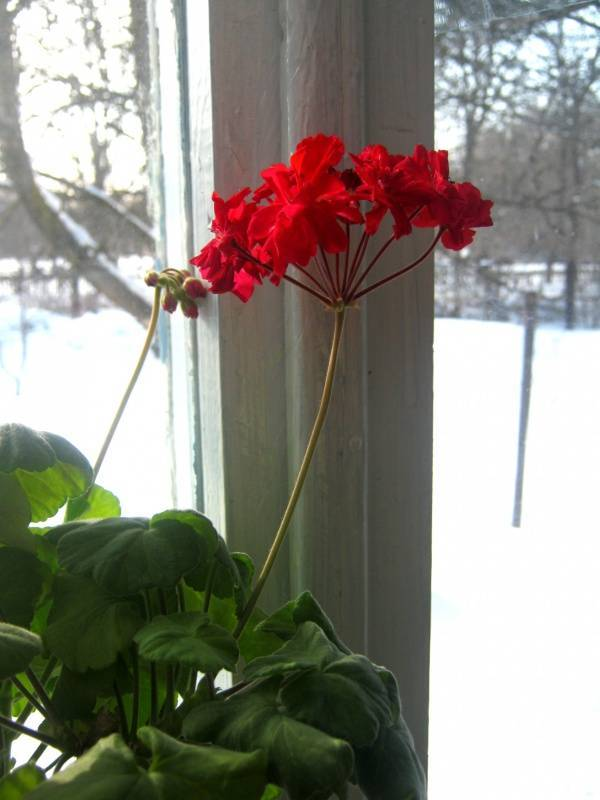 Что случилось с геранью? почему не цветет растение и как ему помочь?