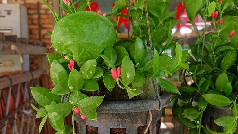Виды растения дисхидия и правильный уход за ним