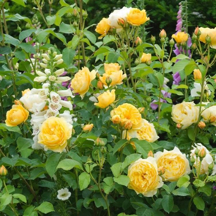 Об английских розах: описание и характеристики сортов, уход и выращивание