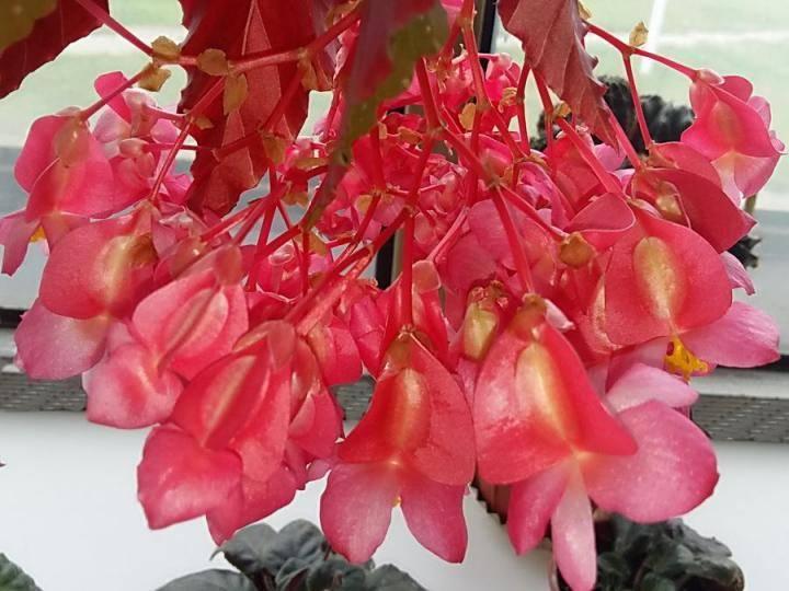 Бегония коралловая: фото, рекомендации по уходу за комнатным растением в домашних условиях, особенности его размножения и обрезки, а также причины, почему не цветет