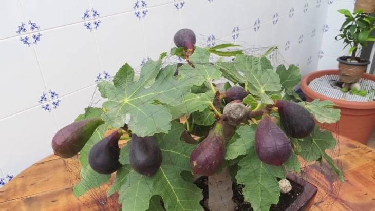 Инжир — уход и выращивание в открытом грунте, обрезка