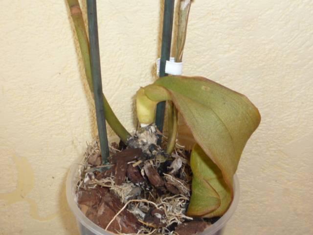 Интересные факты: почему сохнут бутоны у орхидеи фаленопсис