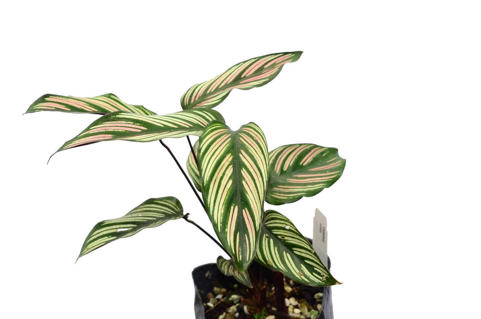 Выращивание калатеи и уход в домашних условиях, фото цветка калатея | фатерра