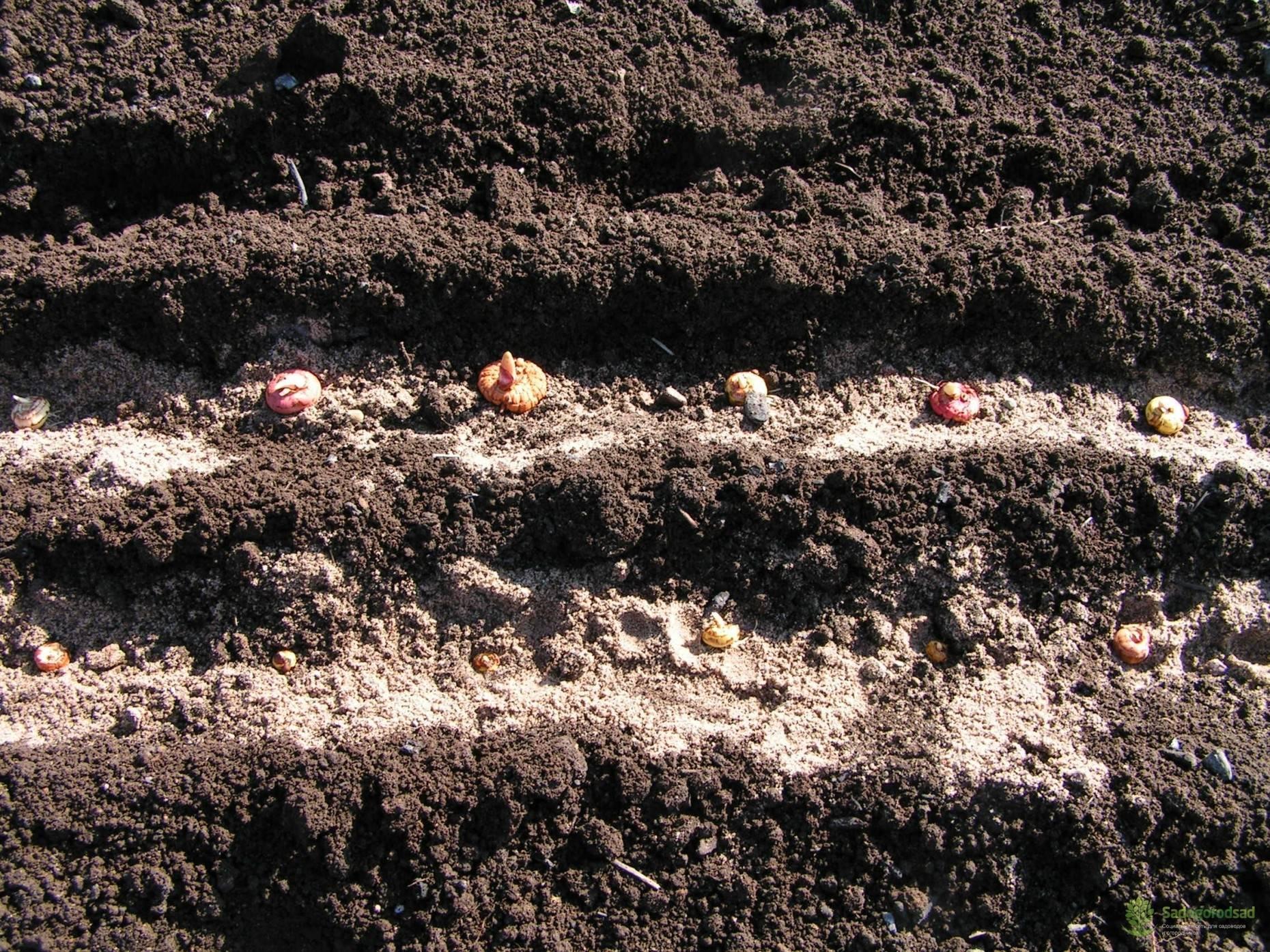 Крокусы – секреты посадки и ухода