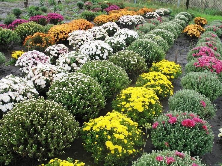 Хризантема мультифлора. посадка, уход, зимовка в открытом грунте.