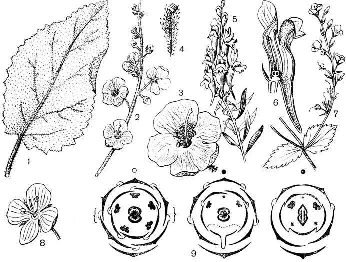 Яснотка белая: описание, лечебные свойства, применение в медицине, противопоказания