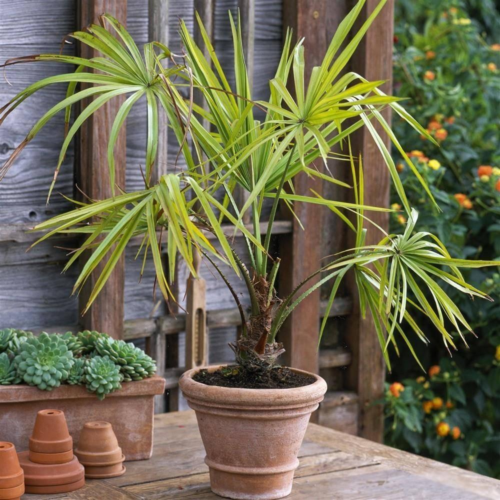 Ливистона – пальма для застенчивых цветоводов