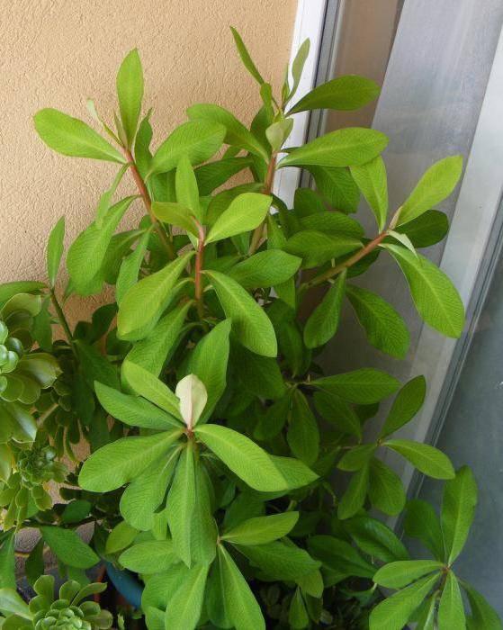 Уход в домашних условиях за цветком синадениум гранта