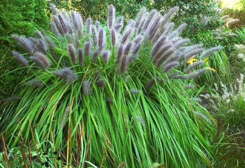 Пеннисетум — выращивание, посадка и уход за злаком в открытом грунте