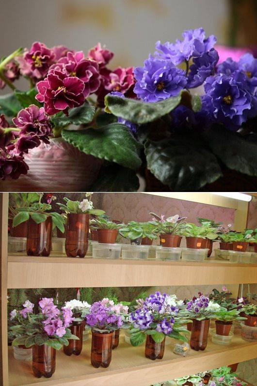 Как вырастить фиалку из семян в домашних условиях?