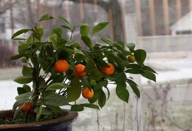 Мандарин: выращивание из косточки в домашних условиях. как прорастить косточку мандарина