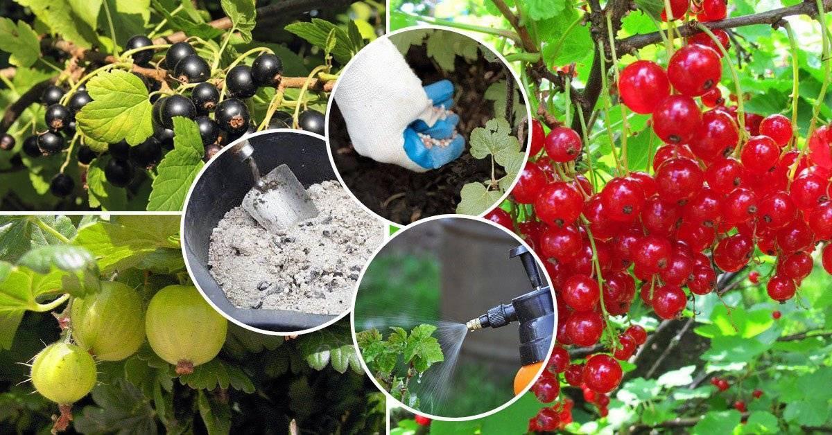 Система удобрения крыжовника: необходимые препараты и оптимальные сроки