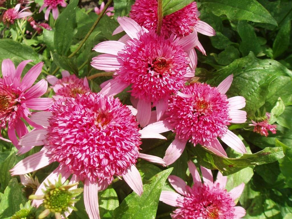 Выращивание рассады эхинацеи пурпурной: посев и уход