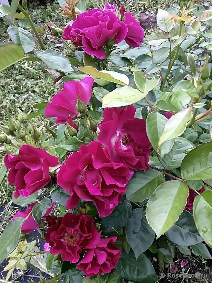 Техника выращивания сорта плетистой розы парад: как ухаживать за клаймингом