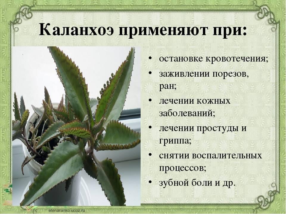 Каланхоэ лекарство от простатита таблетки от цистита простатита