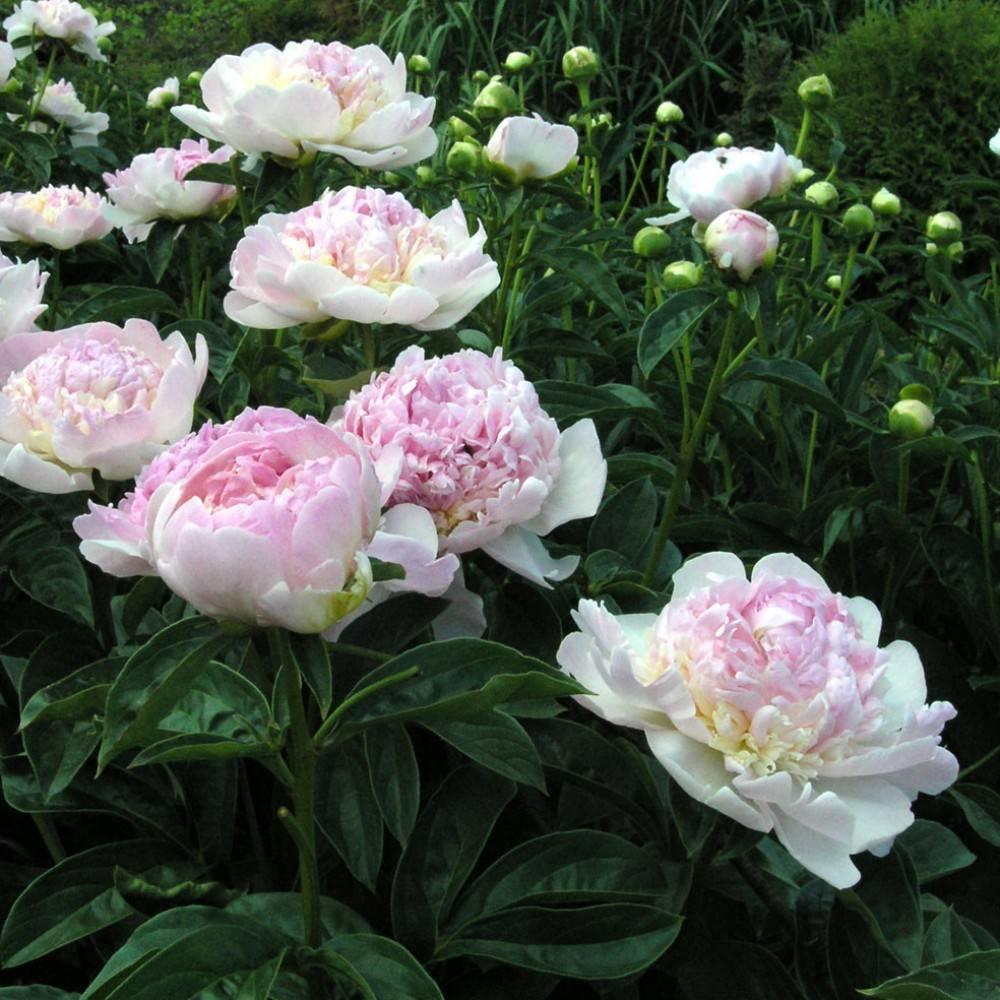 Розовые пионы: популярные сорта, посадка, уход
