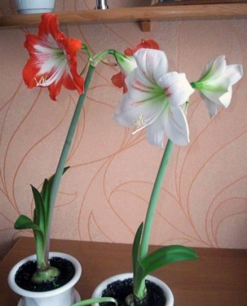 Эухарис (амазонская лилия) — уход в домашних условиях, виды