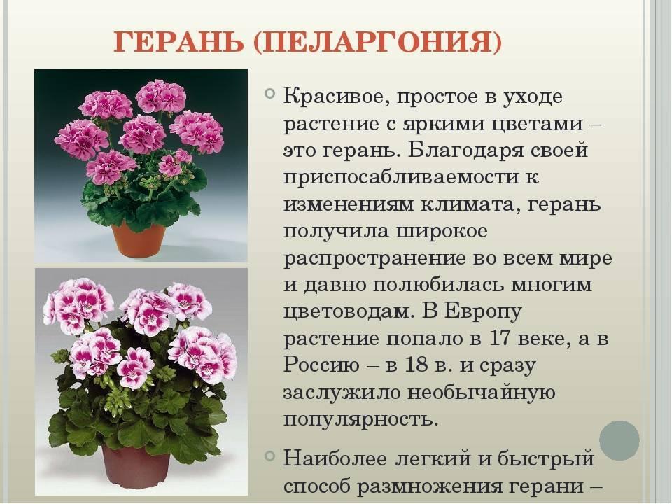 Сорта пеларгонии (72 фото): грандифлора, карликовая герань и другие виды, описание сортов «принц густав», «любава» и других
