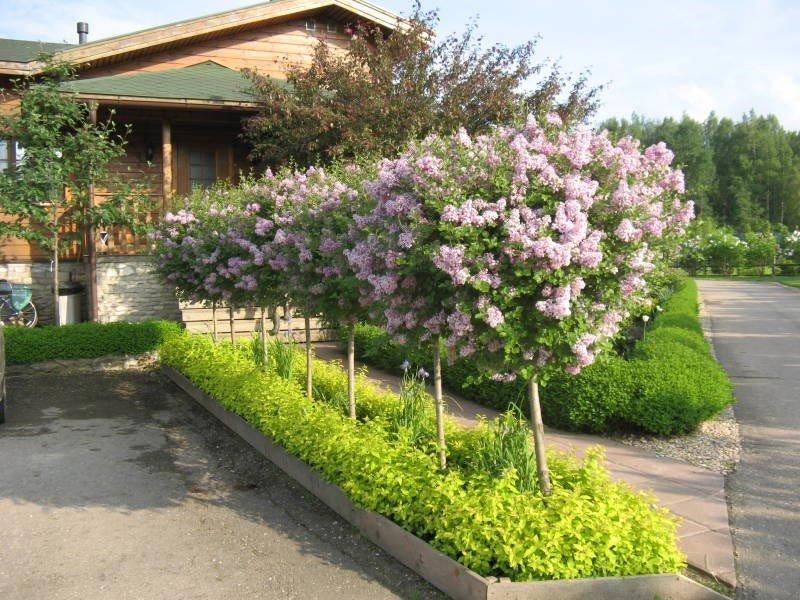 Сирень это кустарник или дерево? как вырастить сирень в домашних условиях - pocvetam.ru