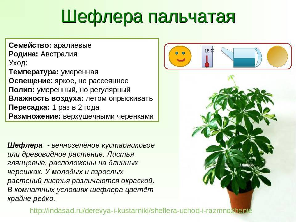 Уход за растением пуансеттии в домашних условиях