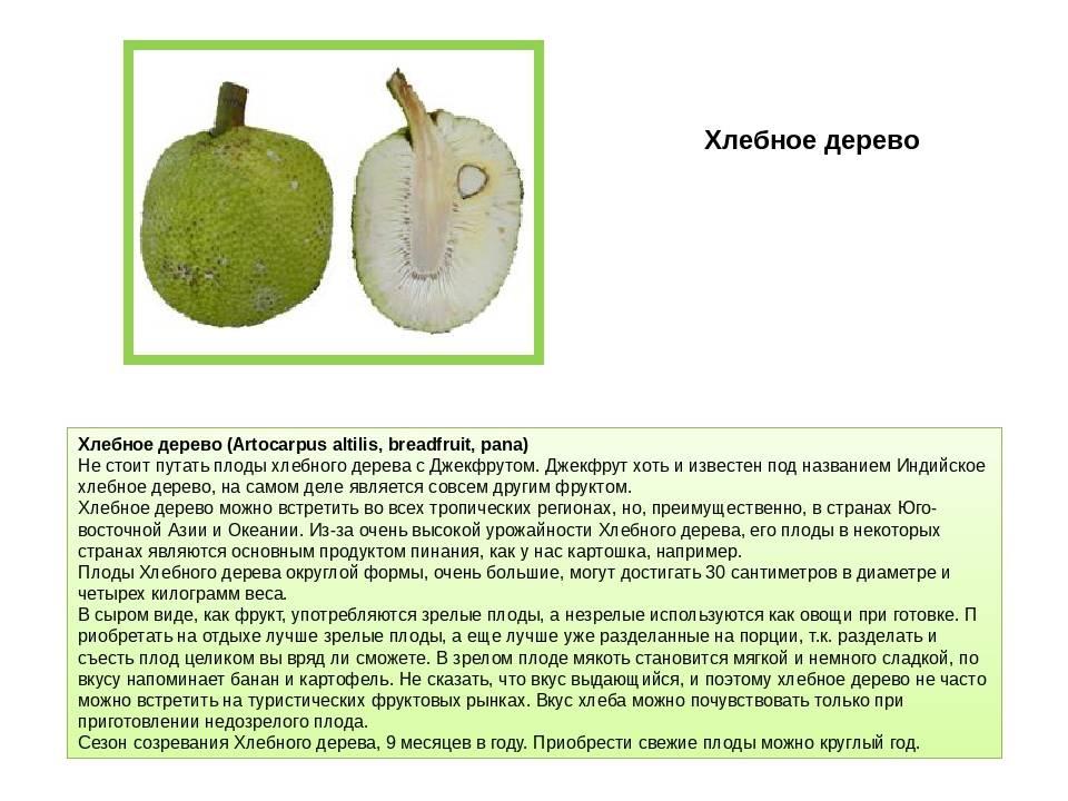 Хлебное дерево — википедия с видео // wiki 2