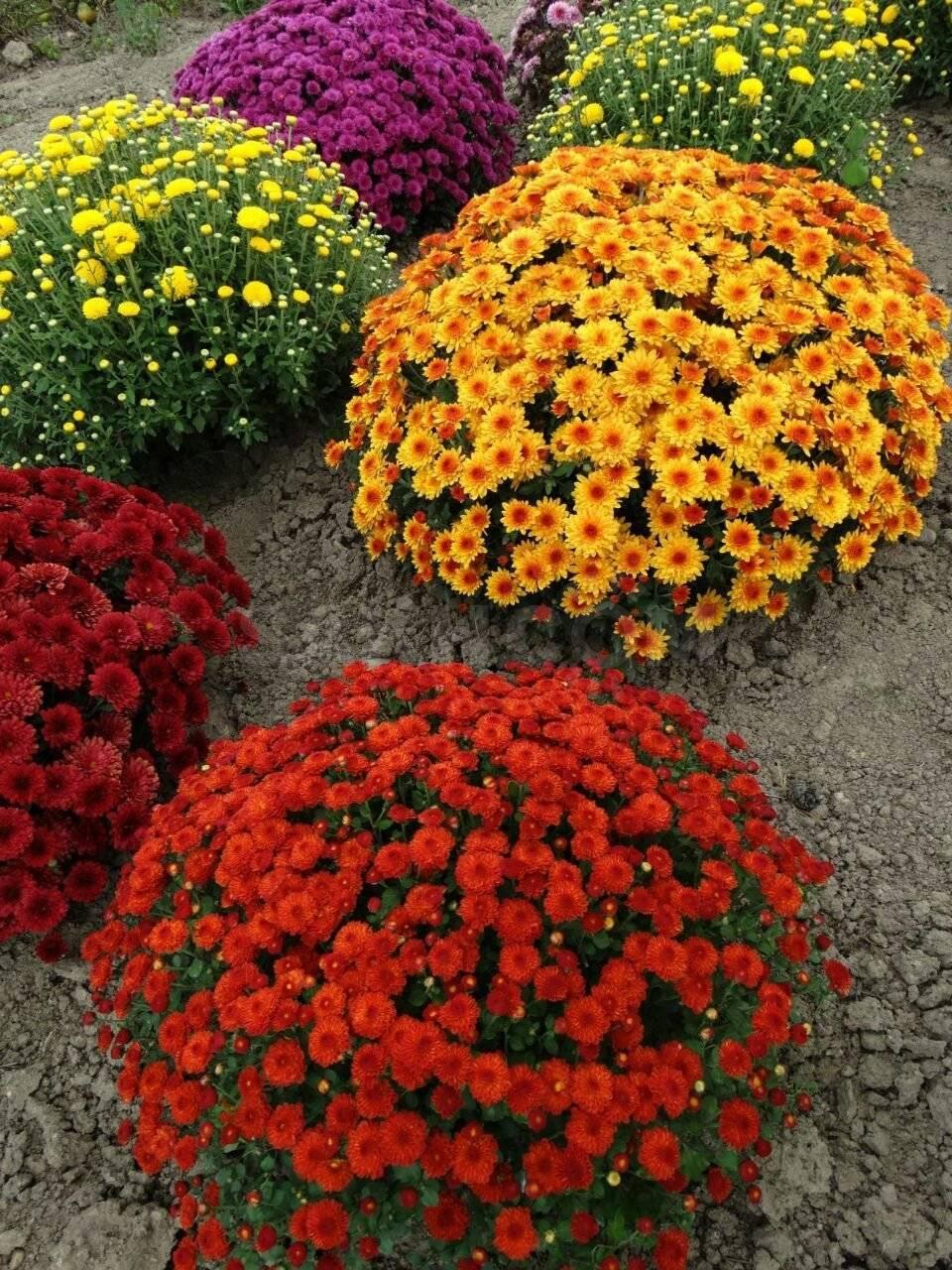 Хризантема мультифлора (шаровидные): характеристика, сорта, посадка и уход, размножение, выращивание семенами, зимовка в открытом грунте