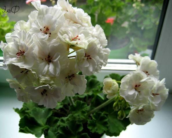 Пеларгония зональная - выращивание из семян своими руками