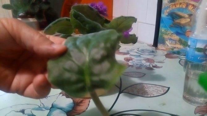 Как вырастить фиалку из листочка?