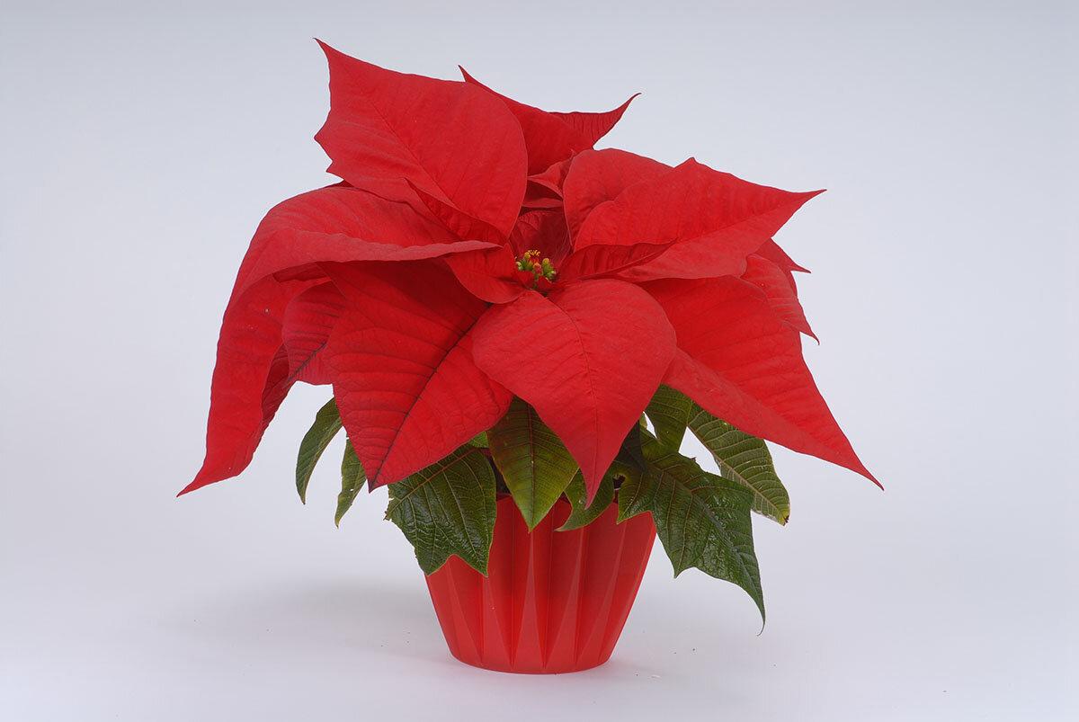 Пуансеттия не краснеет? узнайте, как заставить цвести рождественскую звезду!