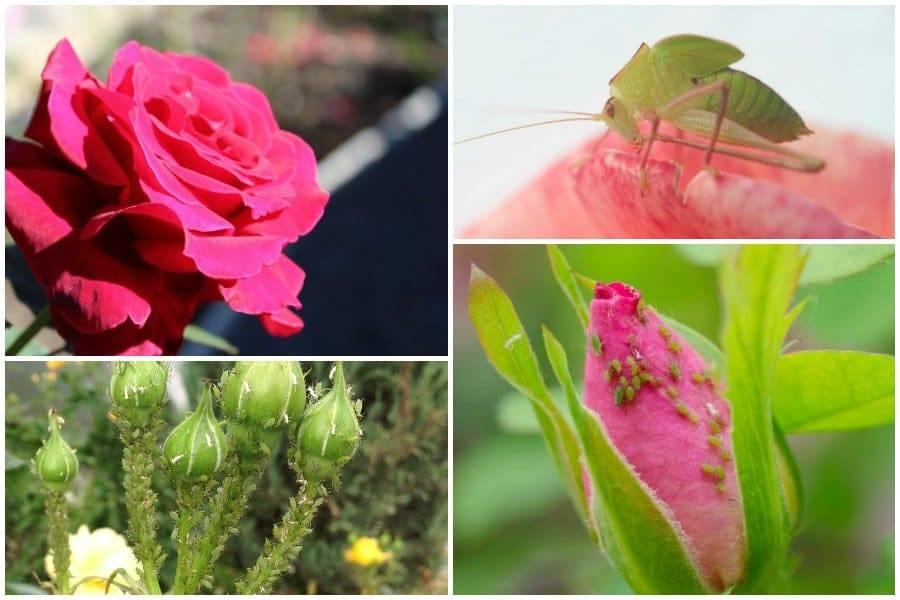 Убойные средства борьбы с тлёй на розах